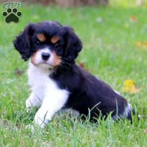 Miniature Bernese Mountain Dog Puppies For Sale Greenfield Puppies