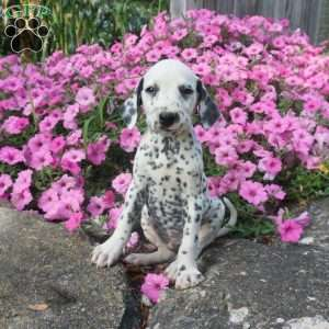 Dalmatian Puppies For Sale Dalmatian Breed Profile Greenfield Puppies