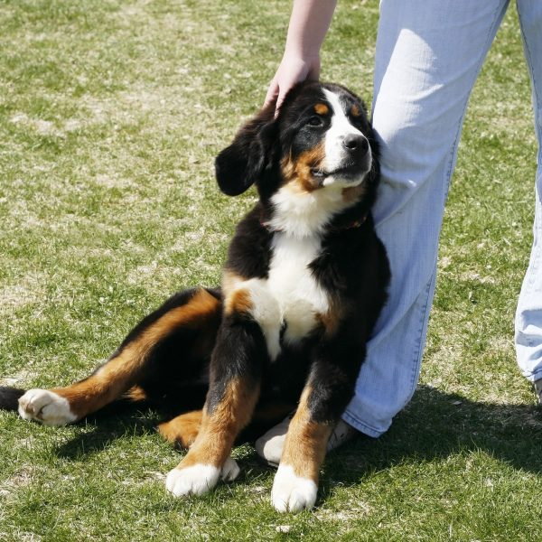 bernese mountain dog puppy leaning on owner's legs