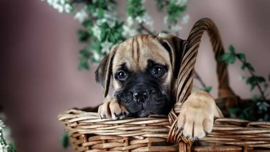 4 Things to Know About Bullmastiff Puppies