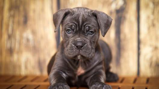 5 Things to Know About Cane Corso Puppies