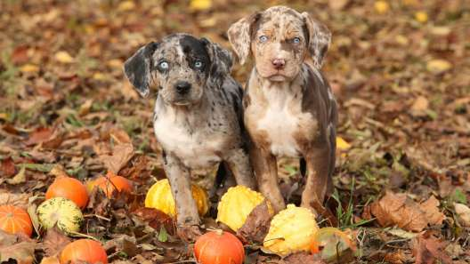 4 Things to Know About Catahoula Leopard Dog Puppies