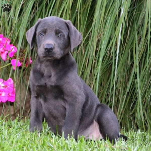 Annie, Charcoal Labrador Retriever Puppy