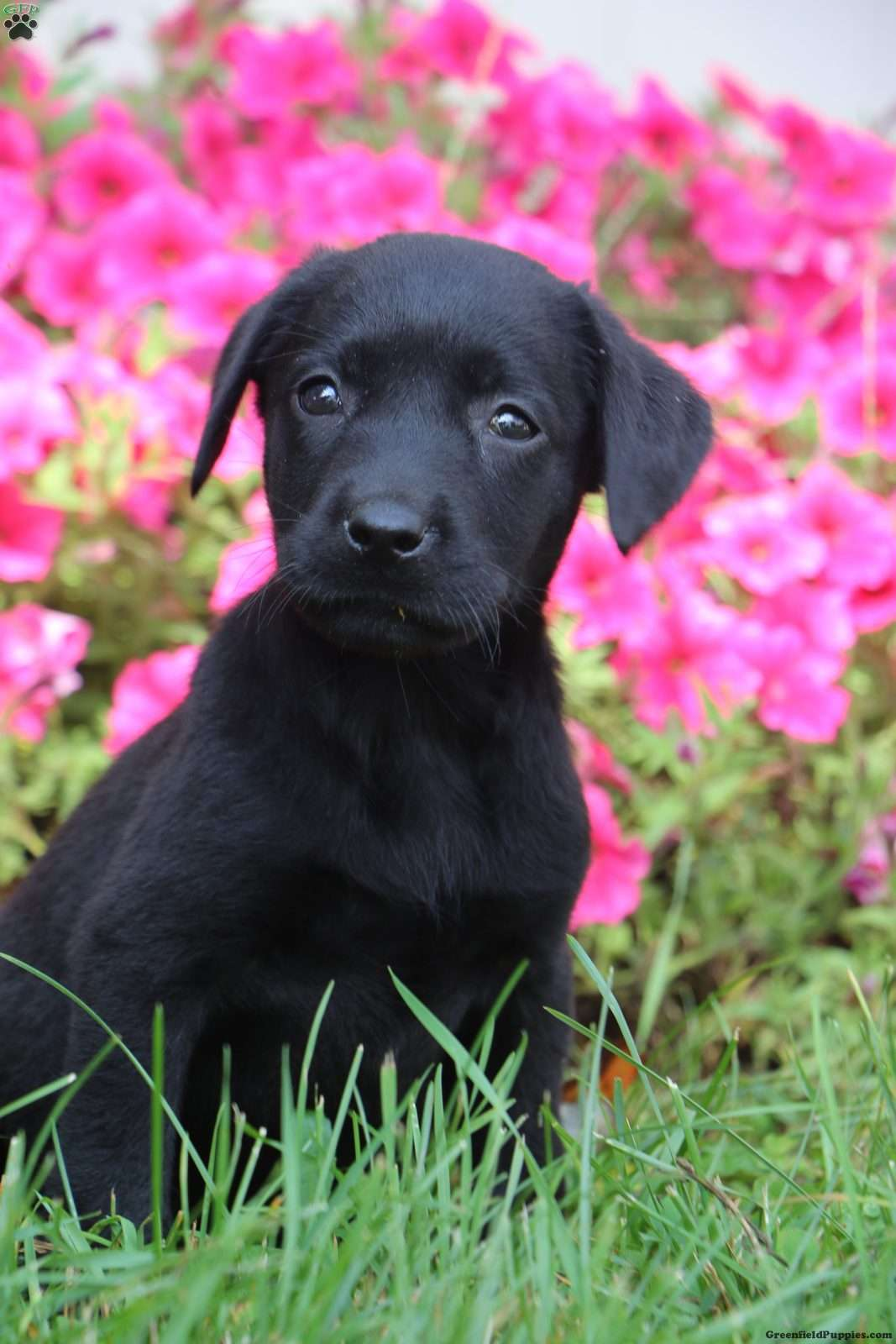 Black Lab Puppies for sale in Arkansas USA