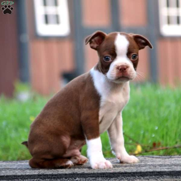 Danny, Boston Terrier Puppy