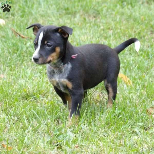 Ellie, Miniature Pinscher Mix Puppy