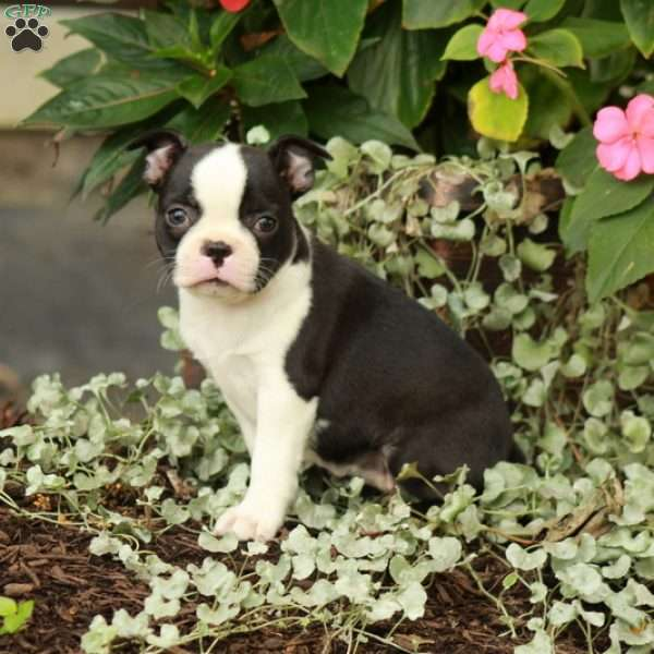 Finch, Boston Terrier Puppy