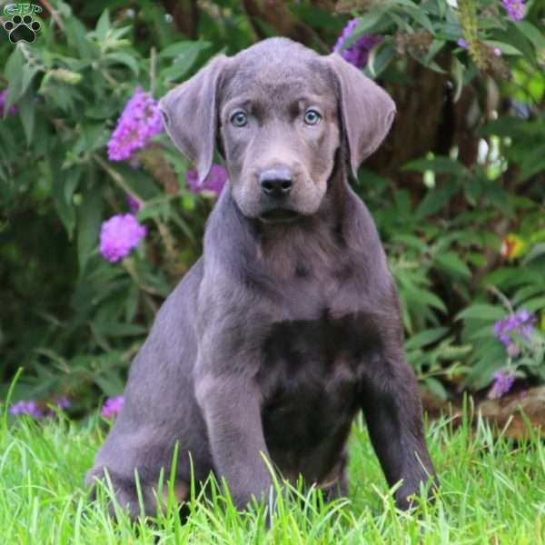 Frankie, Charcoal Labrador Retriever Puppy