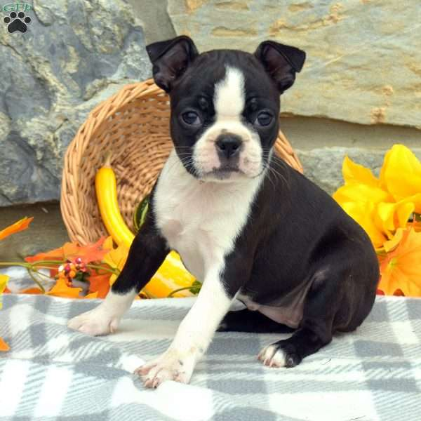 Gabby, Boston Terrier Puppy