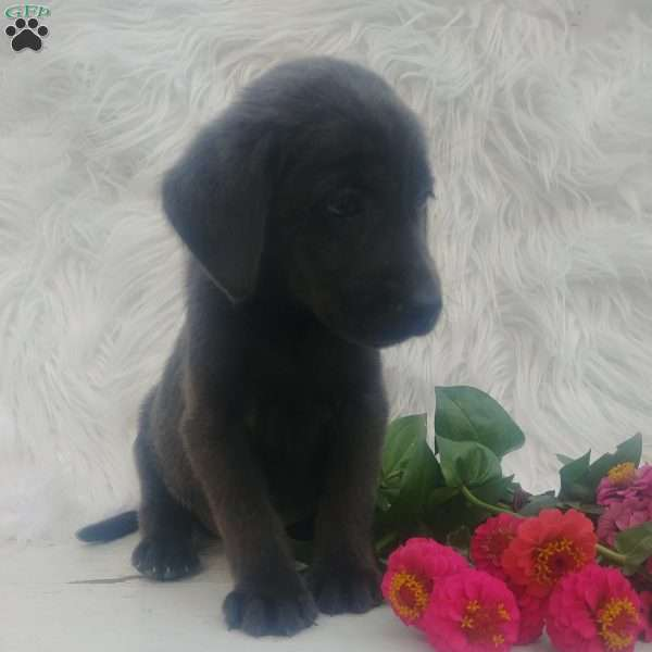 Belle, Charcoal Labrador Retriever Puppy