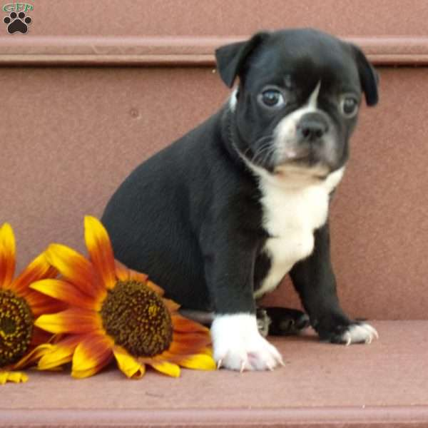 Irvin, Boston Terrier Puppy