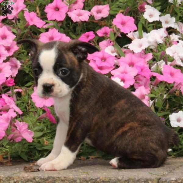 Katie, Boston Terrier Puppy