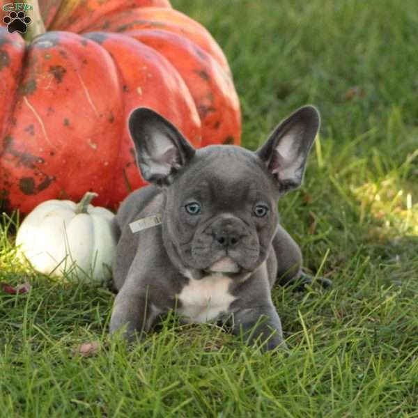 Kimmie, French Bulldog Puppy