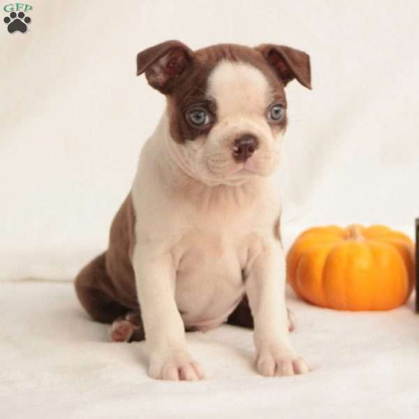 Mars, Boston Terrier Puppy