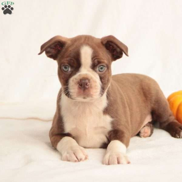 Mike, Boston Terrier Puppy
