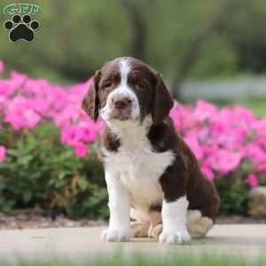 Skipper, English Springer Spaniel Puppy