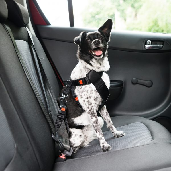 black and white border collie mix sitting in the backseat of a car