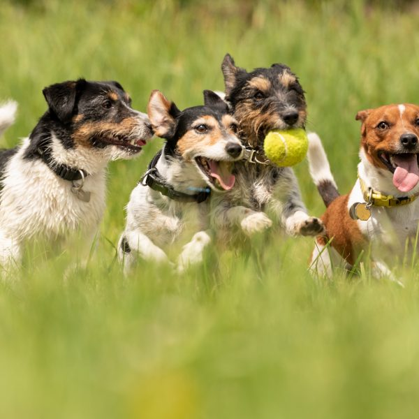 four jack russell terriers running and playing in a field