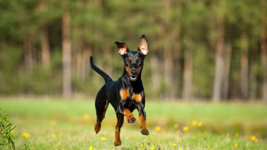 4 Things to Know About German Pinscher Puppies