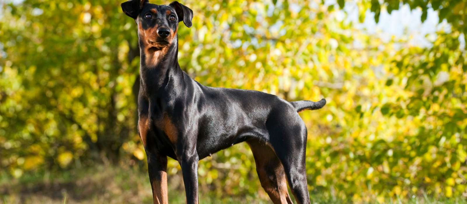 German Pinscher standing in a sunny field