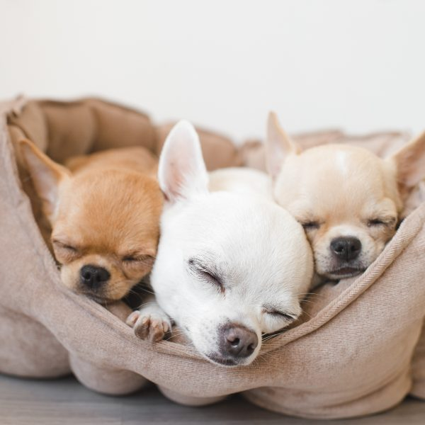 three chihuahua puppies sleeping