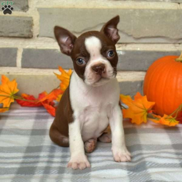 Ace, Boston Terrier Puppy