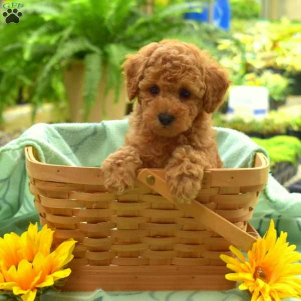 Alice, Toy Poodle Puppy