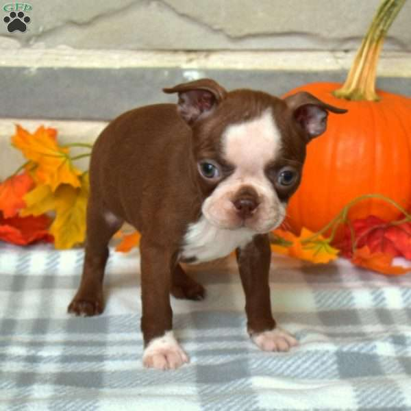 Autumn, Boston Terrier Puppy
