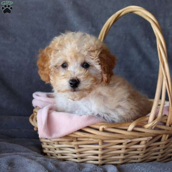 Barney, Toy Poodle Puppy