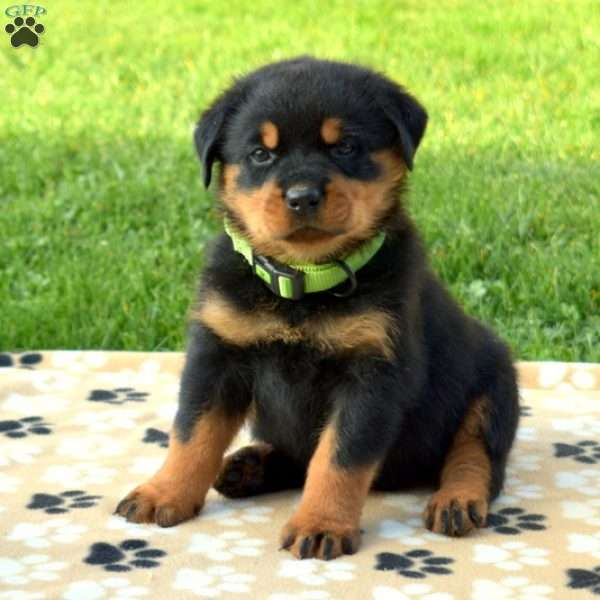 Colby, Rottweiler Puppy