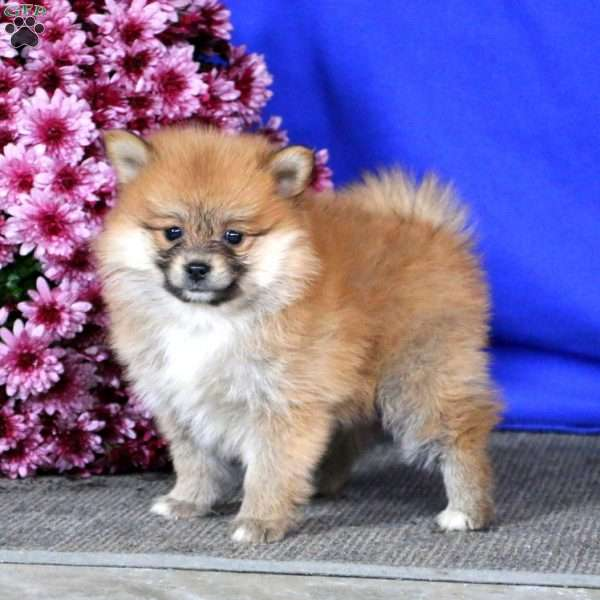Cookie, Pomeranian Puppy