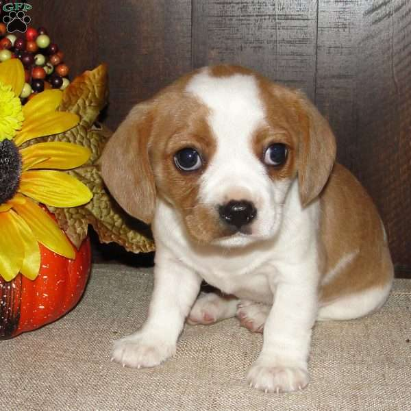 Dallas, Cavalier King Charles Mix Puppy