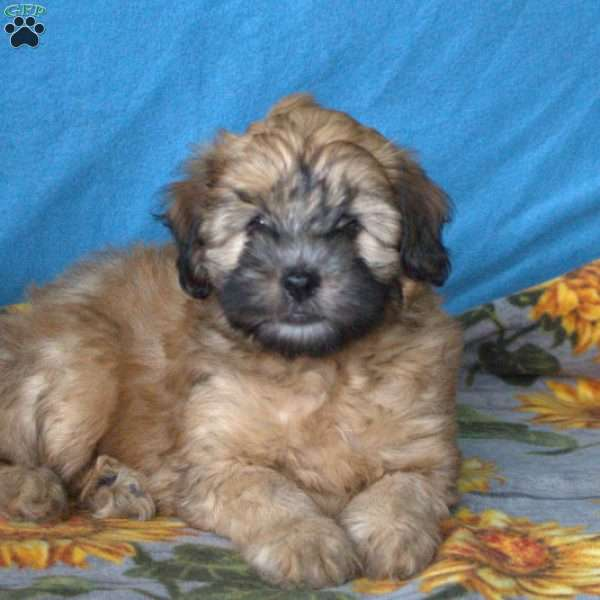 Dalton, Mini Whoodle Puppy