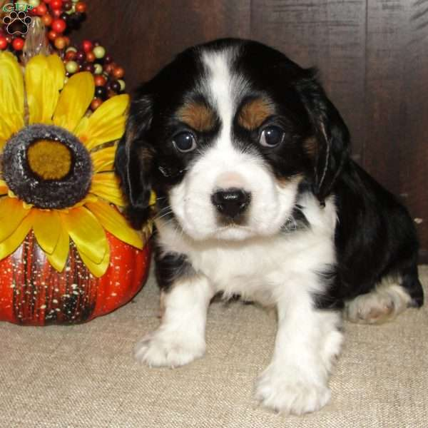 Darby, Cavalier King Charles Mix Puppy