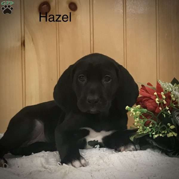 Hazel, Labrador Mix Puppy