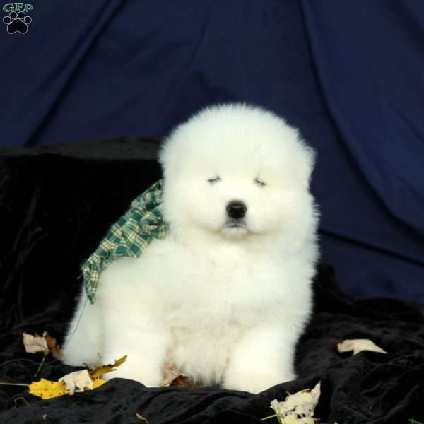 Ivy, Samoyed Puppy