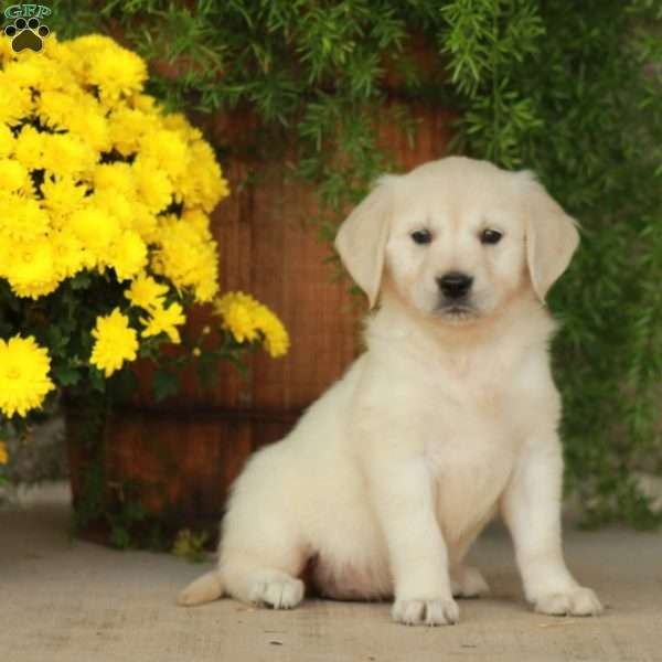 Jade, English Cream Golden Retriever Puppy