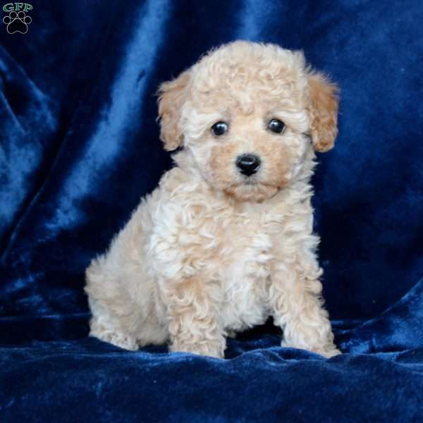 Janessa, Toy Poodle Puppy