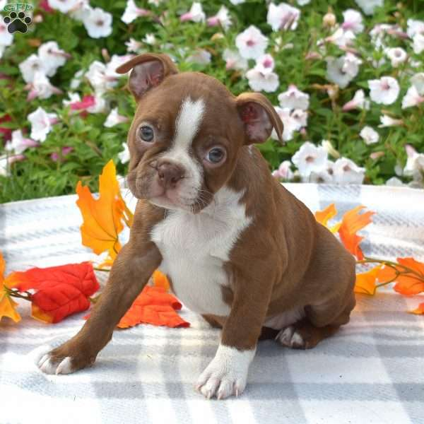 Jasmine, Boston Terrier Puppy