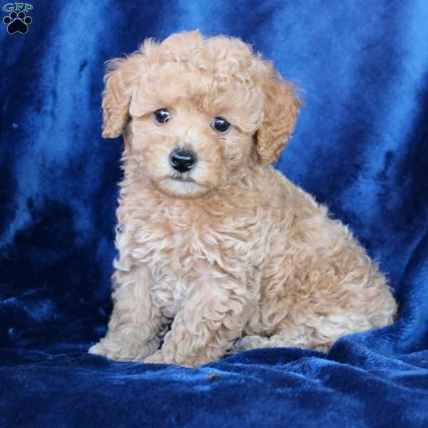 Jimmy, Toy Poodle Puppy