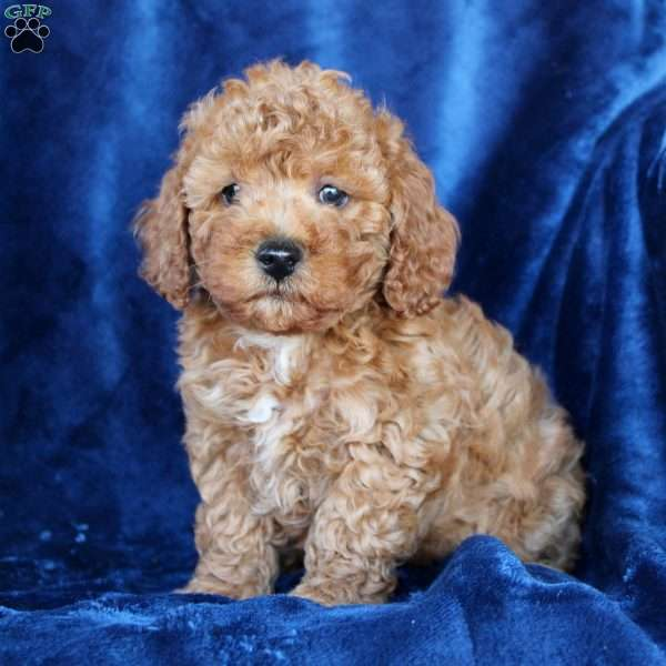 Justin, Toy Poodle Puppy