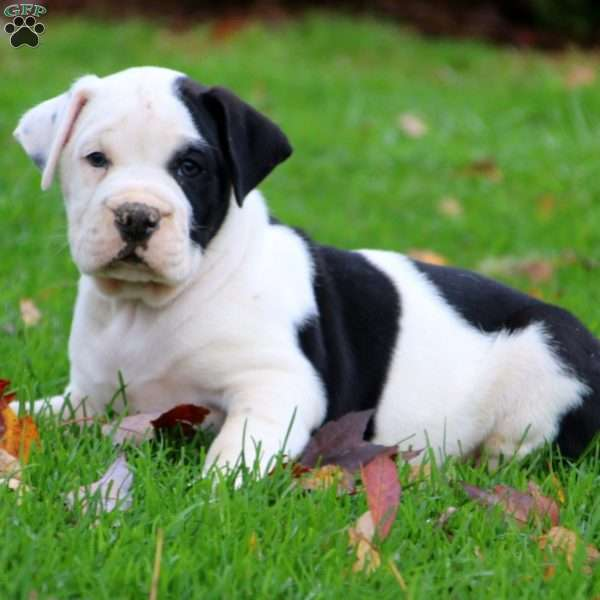 Kip, EngAm Bulldog Puppy