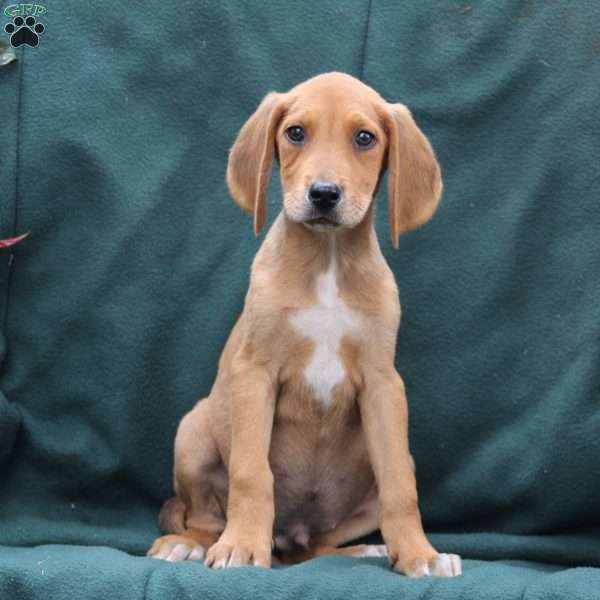 Lance, Treeing Walker Coonhound Puppy