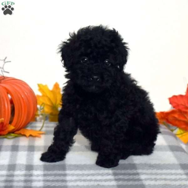 Midnight, Toy Poodle Puppy