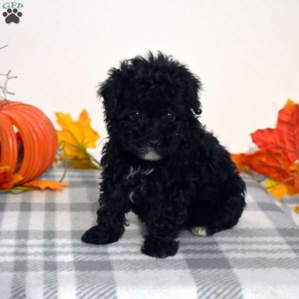 Mila, Toy Poodle Puppy