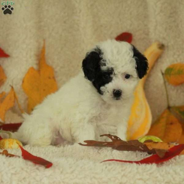 Paisley, Toy Poodle Puppy