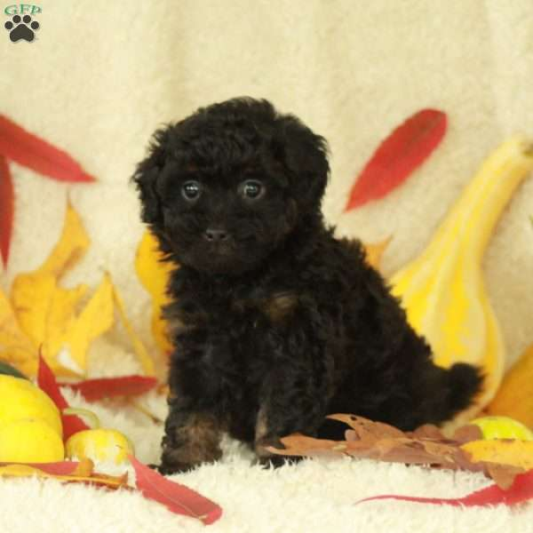 Piper, Toy Poodle Puppy