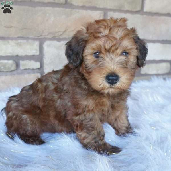Ryder, Mini Whoodle Puppy