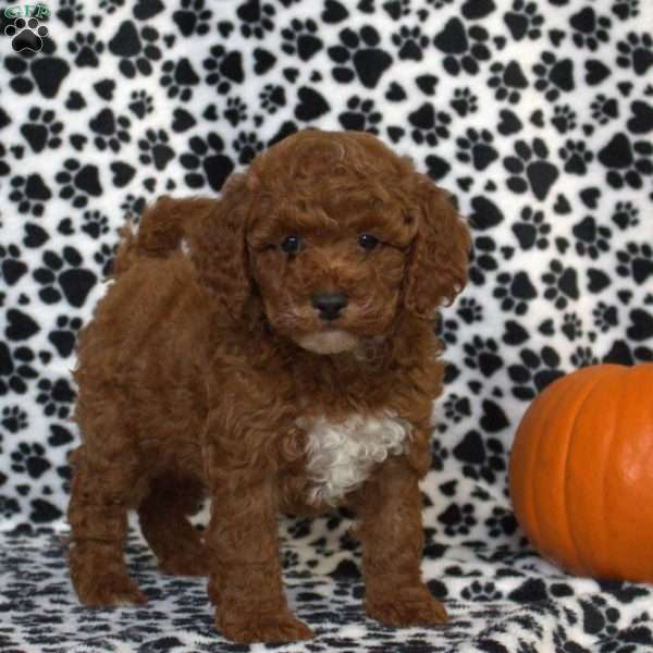 Sable, Toy Poodle Puppy