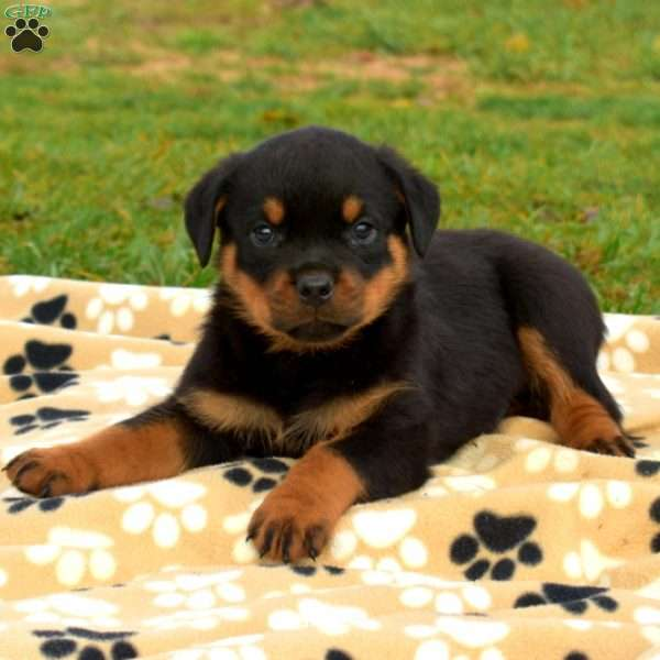 Snickers, Rottweiler Puppy